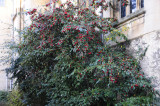 A bush with red berries _DSC5674.jpg