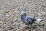 English Pigeon on Cobblestone outside the Bodleian Library _DSC5863.JPG