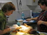 Dr Crystal Shropshire and Vet Tech Yvonne Aprato - Duck Foot Surgery - Alameda Pet Hospital IMG_1750.jpg