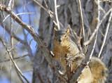 Pocatello Fox Squirrel _DSC6246.JPG