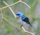 Lazuli Bunting smallfile 403.jpg