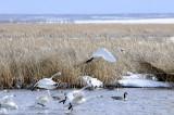 swans taking off _DSC0883.jpg