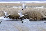 swans taking off _DSC0884.jpg