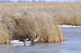 two geese _DSC0986.jpg