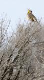 bird singing in sagebrush _DSC0784.jpg