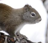 Red Squirrel_DSC1100.jpg