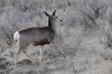 Deer from Portneuf Road _DSC1174.jpg