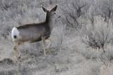 Deer from Portneuf Road _DSC1175.jpg