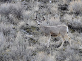 Deer from Portneuf Road _DSC1191.jpg
