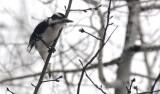 woodpecker _DSC1353.jpg