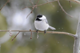 black-capped chickadee _DSC1389.jpg