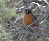 Robin in a juniper tree smallfile _DSC1865.jpg