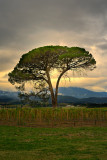 Vineyard tree at dusk