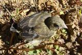 Cria de Verdilhão //  Greenfinch (Carduelis chloris)