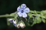 Orelha-de-lebre ou Cinoglossa-de-flor-listrada // Blue Hound's Tongue (Cynoglossum creticum)