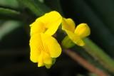 Cornichão // Wildflowers (Scorpiurus sulcatus)