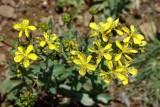 Flores do campo // Wildflowers (Hypericum sp.)