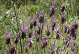 Rosmaninho // French Lavender (Lavandula pedunculata)