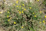 Tomilho-mourisco // Clammy cistus (Fumana thymifolia)
