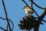 Cotovia-pequena // Woodlark (Lullula arborea)