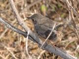 Uma jovem Toutinegra-do-mato // Dartford Warbler (Sylvia undata)