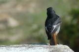 Rabirruivo // Black Redstart (Phoenicurus ochruros)