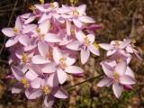 Fel-da-terra // Common Centaury (Centaurium erythraea)
