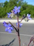 Língua-de-vaca // Italian Bugloss (Anchusa azurea)