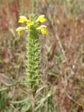 Flor-de-ouro // Mediterranean Lineseed (Bellardia trixago)