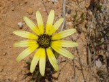 Erva-gorda // Cape Marigold (Arctotheca calendula)