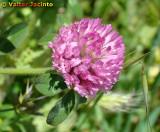 Trevo-violeta // Red Clover (Trifolium pratense)