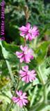 Silene scabriflora subsp. scabriflora