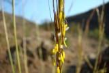 Palha-da-Guiné // Wildflower (Hyparrhenia hirta)