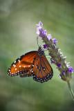 butterflies_alive