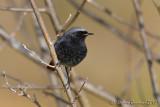 Codirosso spazzacamino (Black Redstart)