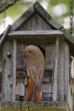 Codirosso (Common Redstart)