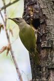Picchio cenerino (Picus canus) - Femmina