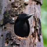 Picchio nero juv. (Drycopus martius)