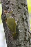 Picchio cenerino (Picus canus) - Maschio