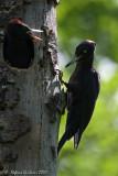 Picchio nero (Drycopus martius)