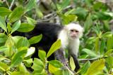 Whitefaced-capuchin monkey