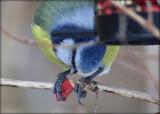 Blåmejse - Blue Tit - Cyanistes Caeruleus
