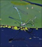 Hestesko-Vandnymfe, tandem - Coenagrion Puella