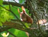 Egern - Red squirrel - Sciurus Vulgaris