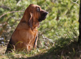 Bloodhound Smilla
