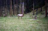 Canadian Elk.jpg