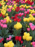 New York tulips.jpg