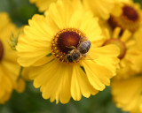 Bee on helenium