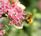 Bee on Sedum.