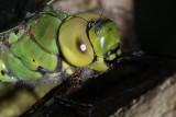 Libellen en juffers uit  de omgeving